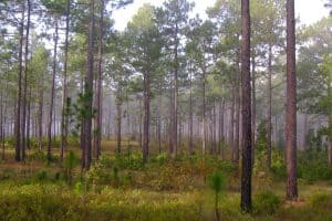The Legacy of Longleaf Pine